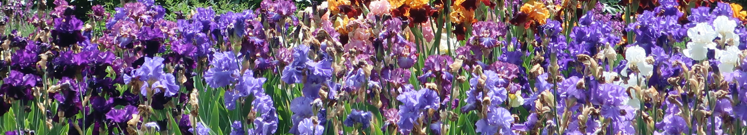 Iris Banner2